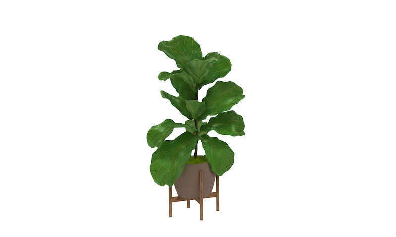 Fig Plant 8