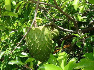 The Major Benefits of Guyabano Fruit - from a medical point of view