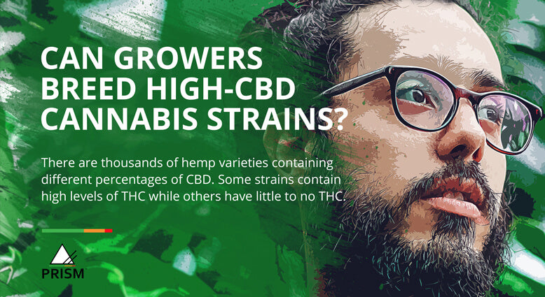 Can growers breed high-CBD cannabis strains?