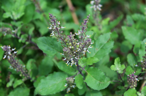 The Tulsi plant, also known as Holy Basil