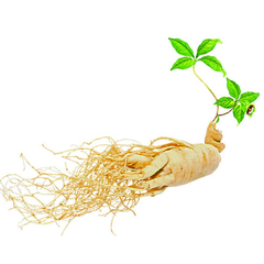 A Sprouting Ginseng Root