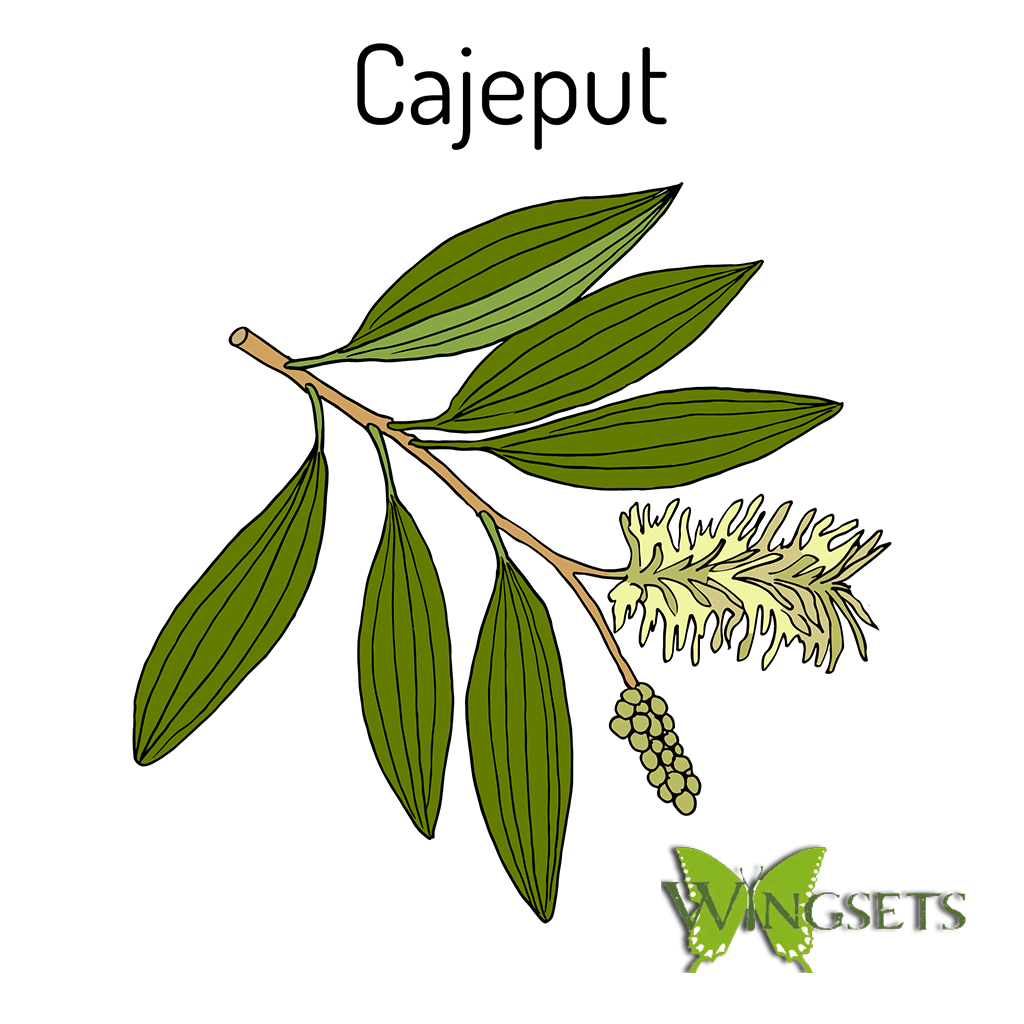 Melaleuca leucadendron essential oil, cajeput essential, steam distilled from organic leaves