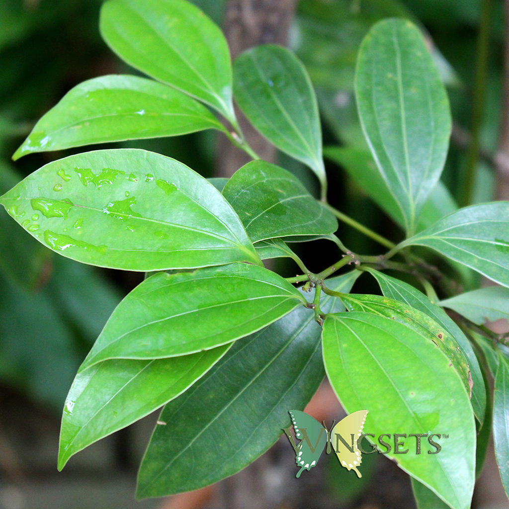 cinnamon leaf for steam distilled cinnamon leaf essential oil, Cinnamomum zeylanicum