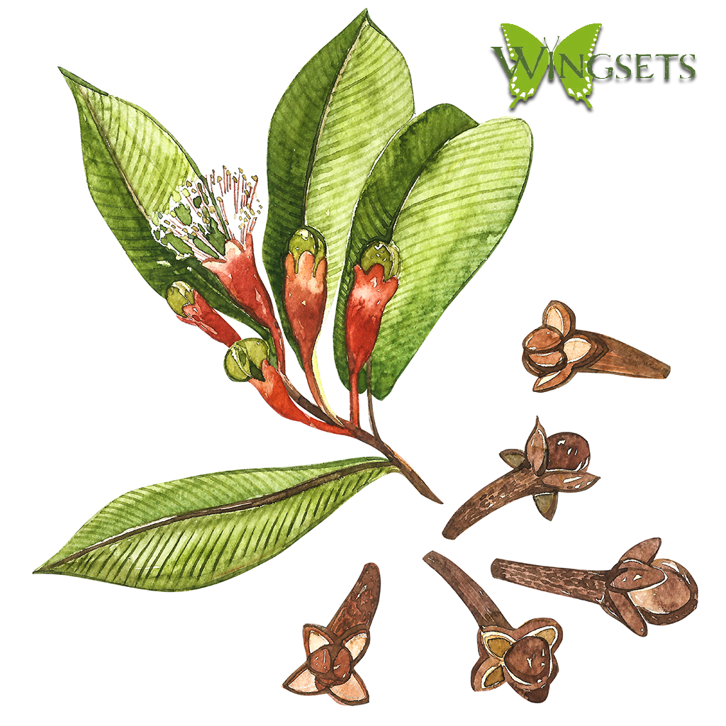 clove leaf, flowers and buds for essential oil, steam distillation, organic buds, Eugenia caryophyllata