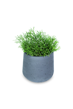 Set - Rhipsalis clavata with stalemate black