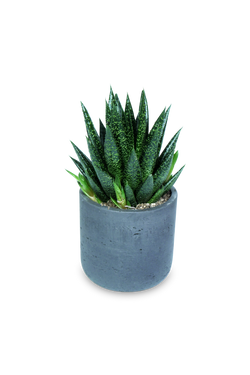 Set - Gasteria D Due with Charlie Schwarz
