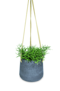 Set - Rhipsalis clavata with hanging standoff black