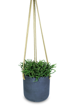 Set - Rhipsalis burchellii with Hanging Charlie Black