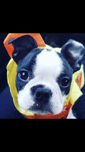 Betty the Boston Terrier