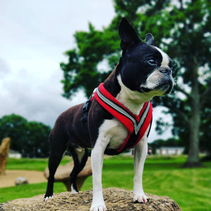Hooper the Boston Terrier