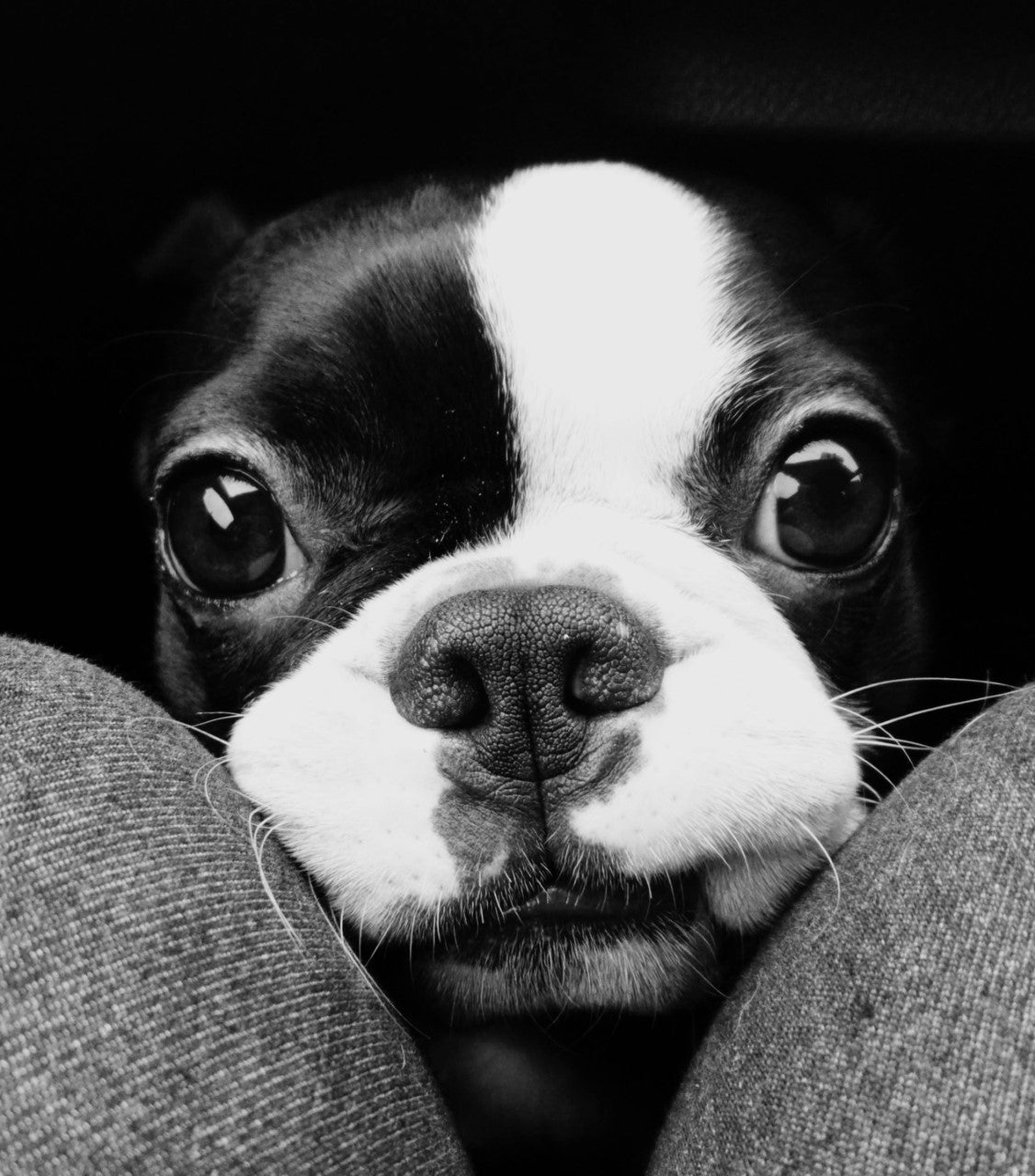 Oscar the Boston Terrier