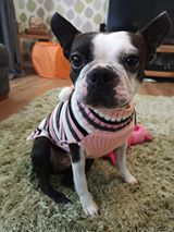 Piper the Boston Terrier