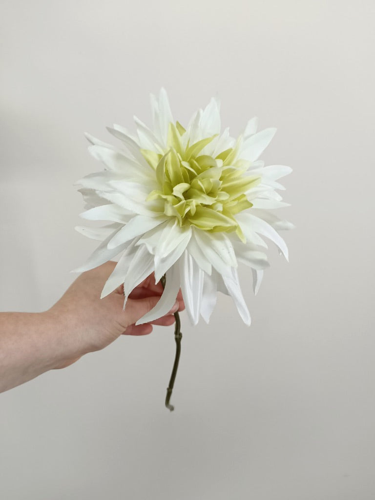 Dahlia Single Flower White