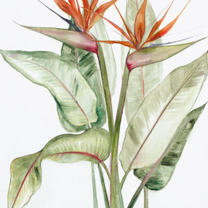 Orange Strelitzia