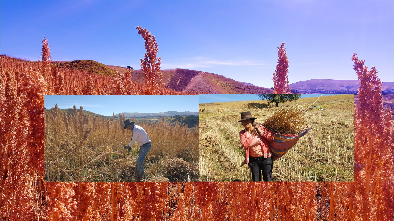 Andes Farmer tending to quinoa crop