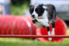 Dog Agility: what it is and what you need to know