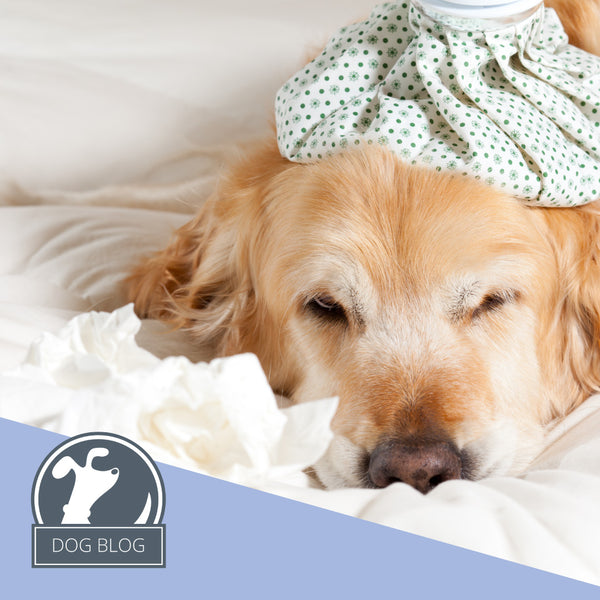 Fido's Nest Blog | Sniffles, sneezes, wheezes and common pooch pet allergies