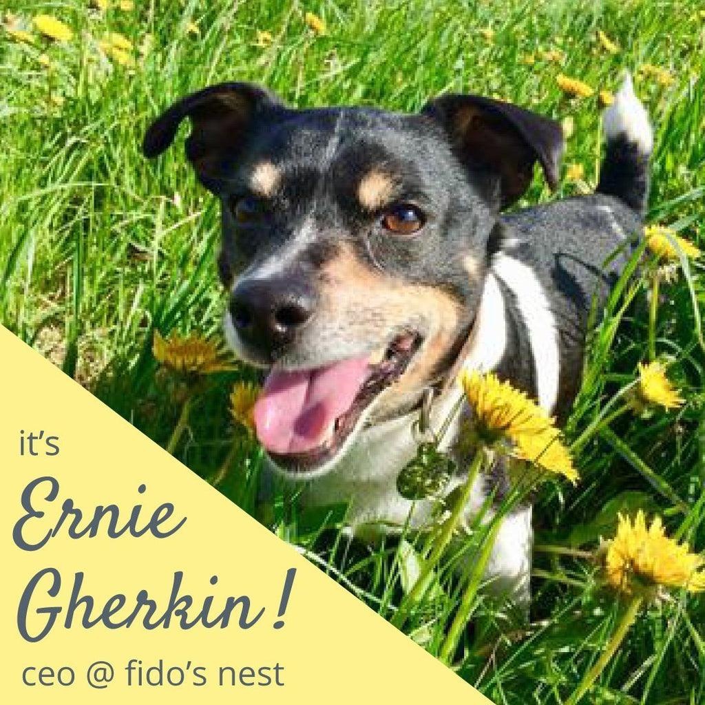Lupo's Nest | Introducing Ernie Gherkin Our Jack Russell Terrier