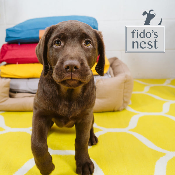 A puppy named Olive, Fido's Nest chocolate lab model