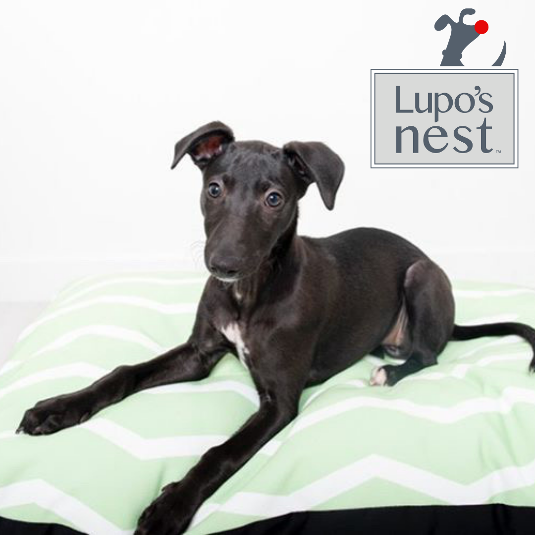 Poppy the Whippet on Nestology Peppermint zig zag standard dog bed by Lupo's Nest