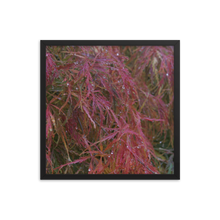 Load image into Gallery viewer, Japanese Maple in Fall Framed Poster
