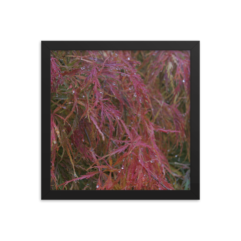 Japanese Maple in Fall Framed Poster