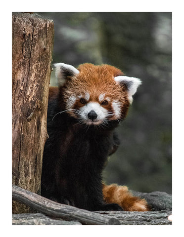 Image of red panda forest