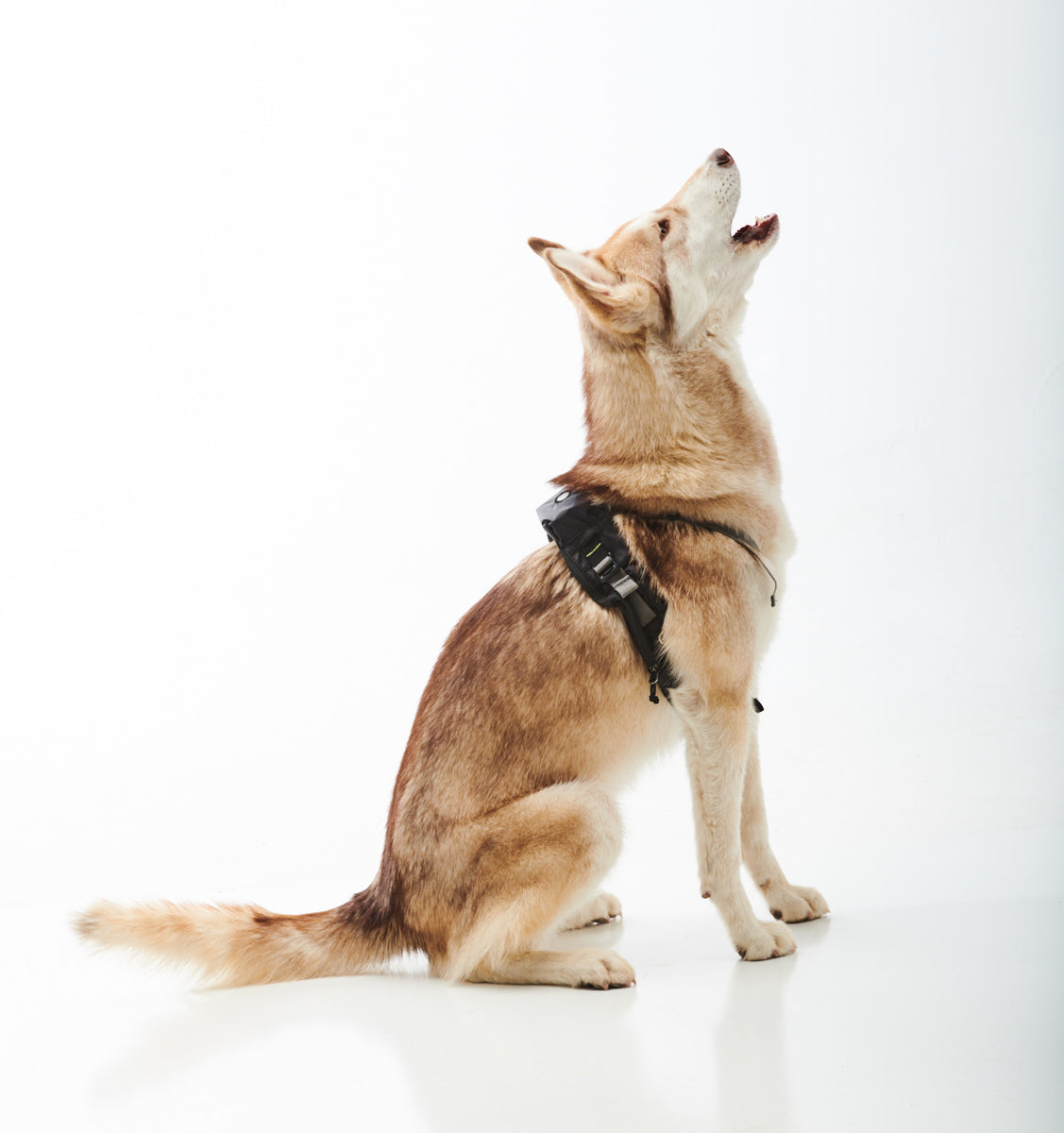 Husky dog wearing harness, howling.