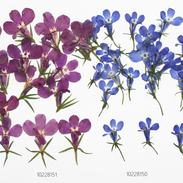 1-3cm Lobelia erinus natural Dried pressed flowers Fuchsia and blue diy flower necklace 12pcs