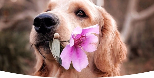 Image of a cute Golden Retriever dog offering a beautiful purple flower as gift to dog owner lover