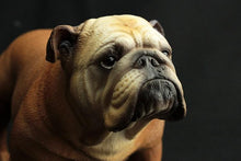 Load image into Gallery viewer, English Bulldog Large Lifelike StatueHome Decor