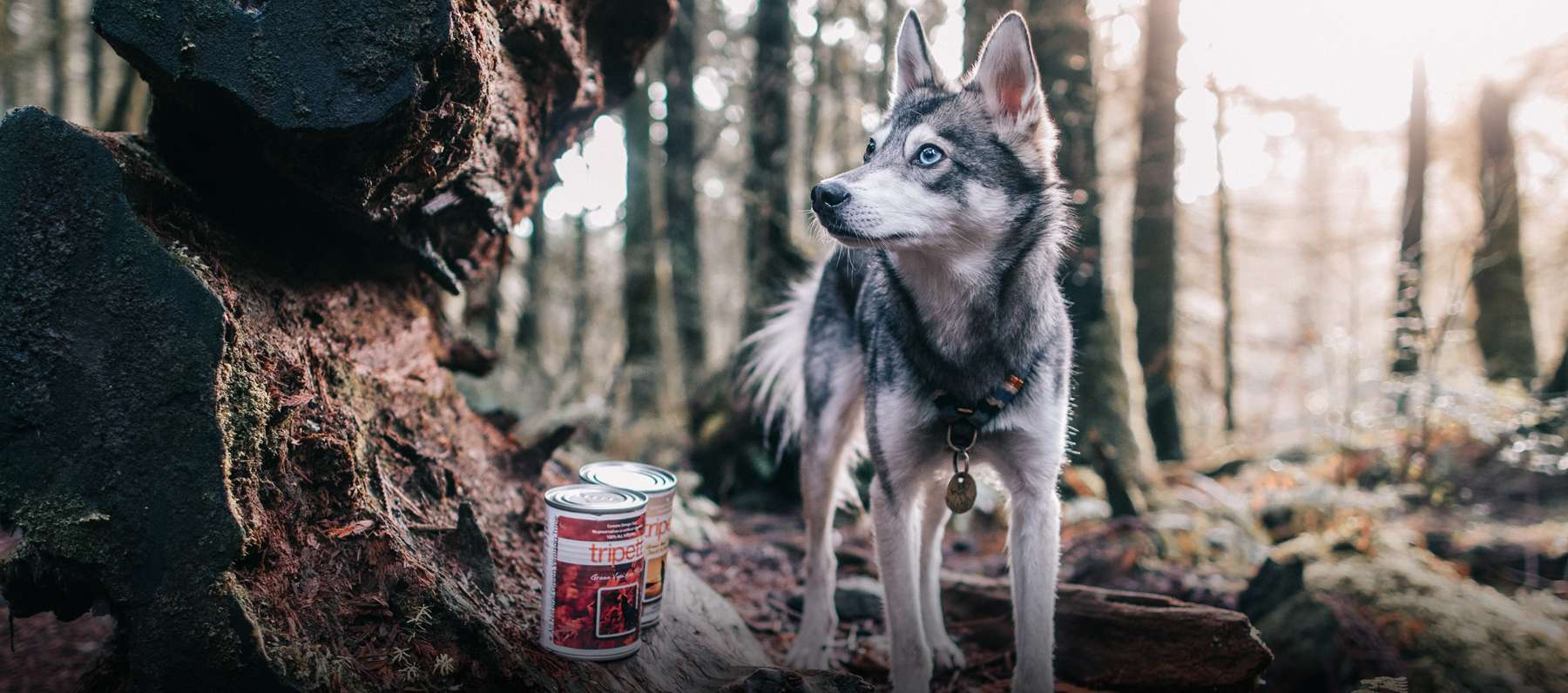 Young Husky amidst a forest with two cans of tripett variants