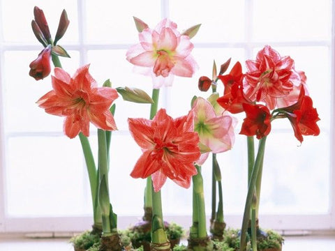 How to re grow amaryllis plants