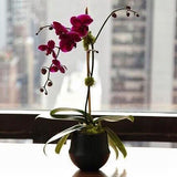 Single Purple Phalaenopsis Orchid