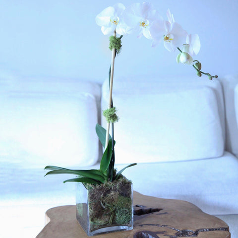 Single White Phalaenopsis Orchid