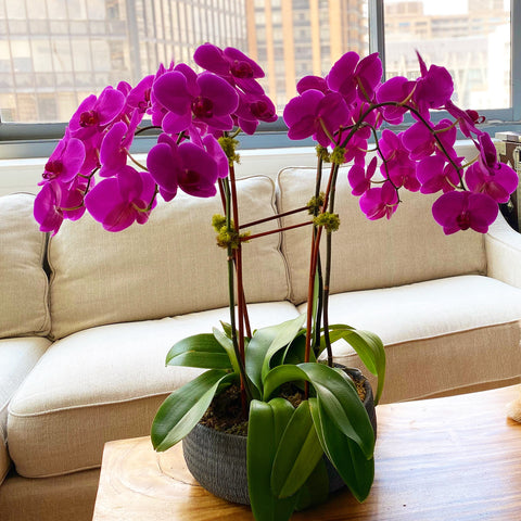 Purple Orchids luxury