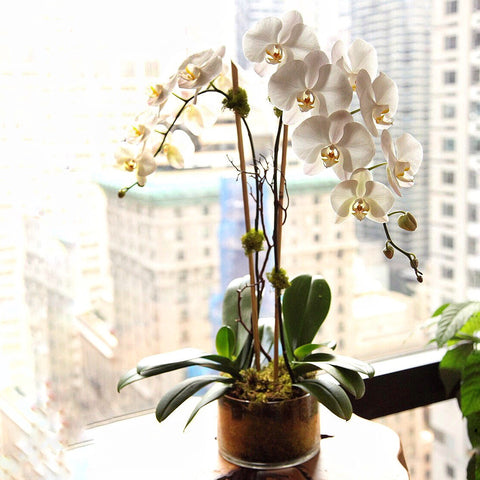 Alaric Flowers | Double orchid delivery nyc | orchids nyc | florists near me | weekly flower delivery nyc | send flowers New York