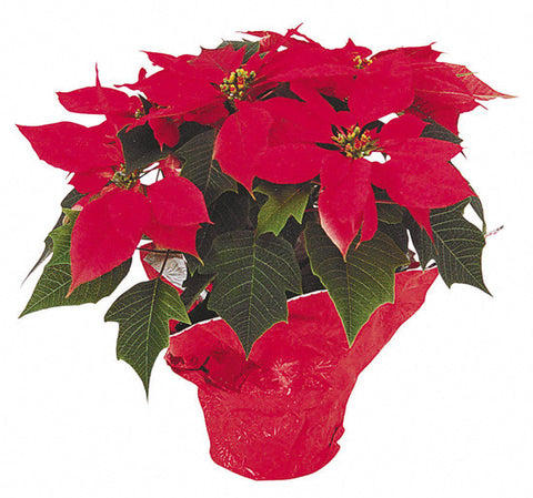 Poinsettia Flower Arrangement - same day flower delivery and gift crate basket delivery Manhattan NYC New York 10019 10022