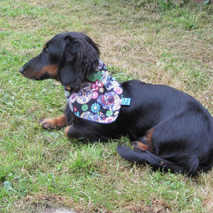 Dachshund wearing Mexican Skulls Halloween Dog Bandana