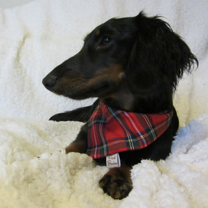 Dachshund wearing Tartan Dog Bandana Red