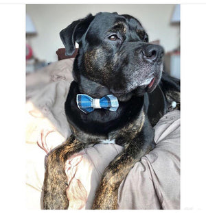 Dog wearing Tartan Dog Bow Tie Blue