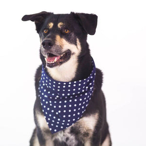Husky Mix wearing Pola Dot Dog Bandana Blue