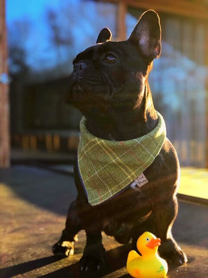 Frenchie Wearing Tweed Tartan Dog Bandana Green