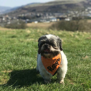 Ralph the Shi Tzu wearing Polka Dot Dog Bandana Orange