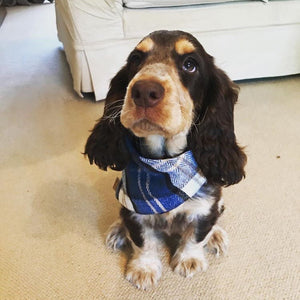 Dog wearing Tartan Dog Bandana Blue
