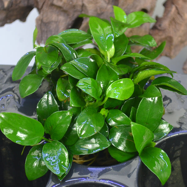 Aquatic Plants A-Z: Anubias