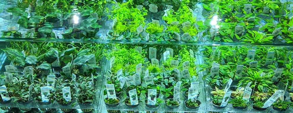 Popular And Easy Aquarium Plants For Aquascaping Scaped Nature