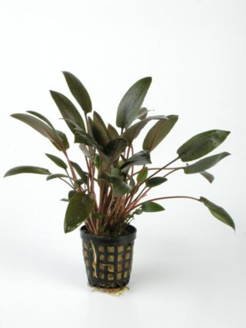 Cryptocoryne wendtii 'Brown'