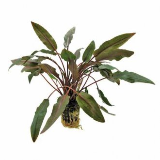 CRYPTOCORYNE UNDULATUS 'BROWN'