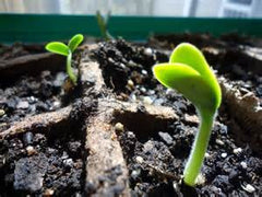 germinated seeds, indoor sprouting